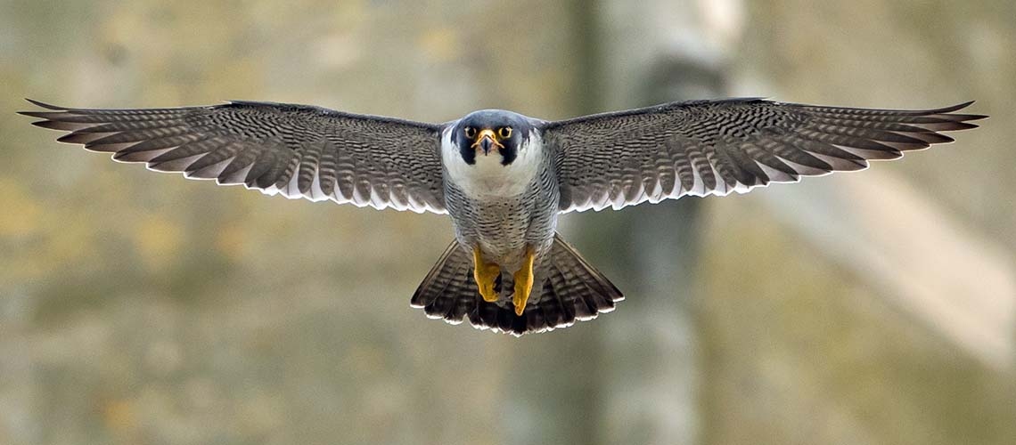 Bringing people together through their passion for Peregrines.