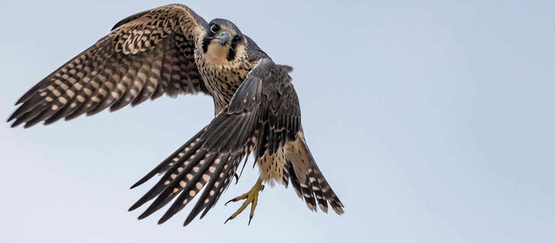 A platform to connect fellow Peregrine researchers and enthusiasts