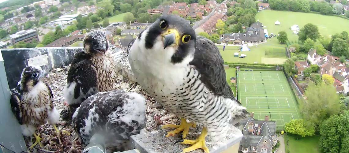 A comprehensive collective of Peregrine literature and information.